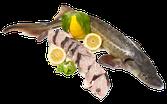 Cá Tầm khứa thân