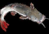 Cá lăng đuôi đỏ sống