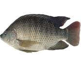 Cá Rô Phi sống (size vừa)